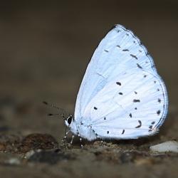 Subfamily Polyommatinae <br>&nbsp;&nbsp;&nbsp; Genus Udara - The Hedge Blues