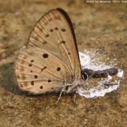 Subfamily Polyommatinae <br>&nbsp;&nbsp;&nbsp; Genus Una - The Singleton