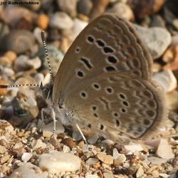 Subfamily Polyommatinae <br>&nbsp;&nbsp;&nbsp; Genus Zizeeria -- The Grass Blues