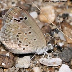 Subfamily Polyommatinae <br>&nbsp;&nbsp;&nbsp; Genus Zizina -- The Grass Blues