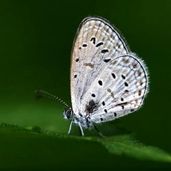 Subfamily Polyommatinae <br>&nbsp;&nbsp;&nbsp; Genus Zizula -- The Grass Blues