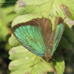 Green Oakblue -- Arhopala eumolphus eumolphus Cramer, 1780