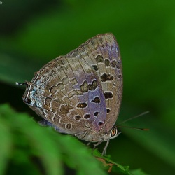 Subfamily Theclinae <br>&nbsp;&nbsp;&nbsp; Genus  Arhopala -- The Oakblues,Bushblues,Plushblues