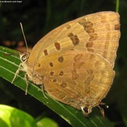 Butterflies<br>&nbsp;&nbsp;&nbsp;Lycaenidae( The Blues )<br>