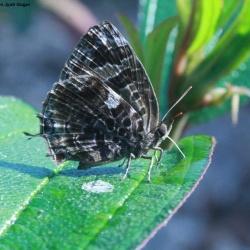 Aberrant Bushblue - Arhopala abseus indicus Riley, 1923