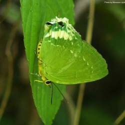 Green Flash -- Artipe eryx Linnaeus, 1771