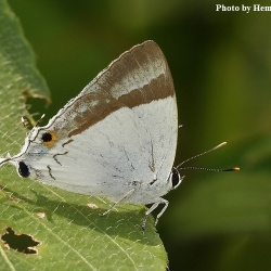 Subfamily Theclinae <br>&nbsp;&nbsp;&nbsp; Genus Charana - The Mandarin Blue and Banded Royal