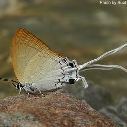 Subfamily Theclinae <br>&nbsp;&nbsp;&nbsp; Genus Cheritra -- The Imperials