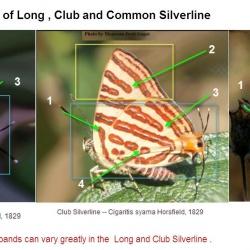 Long-banded Silverline -- Spindasis lohita Horsfield, 1829 vs <br> Common Silverline -- Spindasis vulcanus Fabricius, 1775 vs <br>  Club Silverline -- Spindasis syama Horsfield, 1829