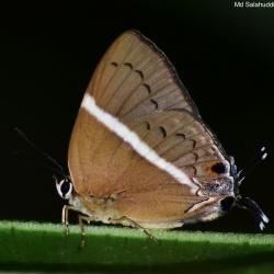Subfamily Theclinae <br>&nbsp;&nbsp;&nbsp; Genus Dacalana -- The Royals