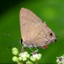 Subfamily Theclinae <br>&nbsp;&nbsp;&nbsp; Genus Deudorix -- The Cornelian