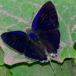 Subfamily Theclinae <br>&nbsp;&nbsp;&nbsp; Genus Hypolycaena -- The Tits