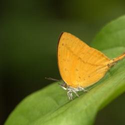 Subfamily Theclinae <br>&nbsp;&nbsp;&nbsp; Genus Loxura, Yasoda, Drina <br>-- The Yamfly