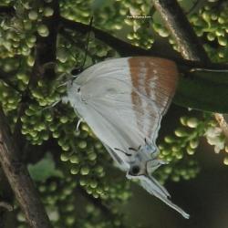 Subfamily Theclinae <br>&nbsp;&nbsp;&nbsp; Genus Neocheritra -- The Imperials