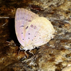 Subfamily Theclinae <br>&nbsp;&nbsp;&nbsp; Genus Panchala -- The Oakblues