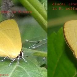 Comparison between Assam Flash ( Rapala tara de Nicéville, 1889 ) and Suffused Flash ( Rapala suffusa Moore, 1879 )