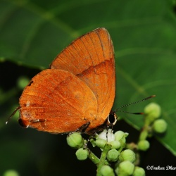 Subfamily Theclinae <br>&nbsp;&nbsp;&nbsp; Genus Rapala -- The Flashes