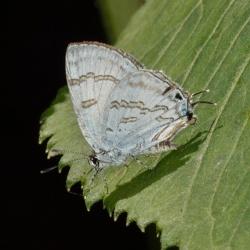 Subfamily Theclinae <br>&nbsp;&nbsp;&nbsp; Genus Sinthusa -- The Sparks
