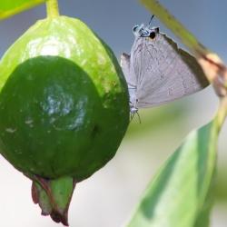 Subfamily Theclinae <br>&nbsp;&nbsp;&nbsp; Genus Virachola - The Guava Blues