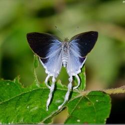 Subfamily Theclinae <br>&nbsp;&nbsp;&nbsp; Genus Zeltus -- The Tits
