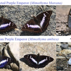 Subfamily Apaturinae <br>&nbsp;&nbsp;&nbsp; Genus Mimathyma ( The Emperors )