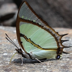 Subfamily Charaxinae <br>&nbsp;&nbsp;&nbsp; Genus Polyura ( The Nawabs )