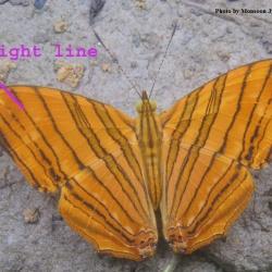 Common Maplet - Chersonesia risa