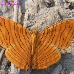 Wavy Maplet - Chersonesia rahira rahriodes