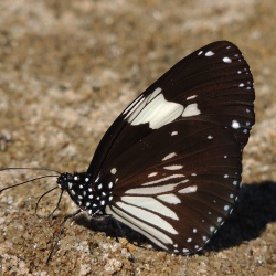 Subfamily Danainae <br>&nbsp;&nbsp;&nbsp; Genus Euploea ( The Crows )