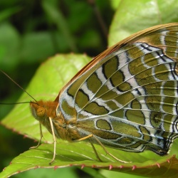 Subfamily Heliconiinae <br>&nbsp;&nbsp;&nbsp; Genus Argynnis ( The Silverstripes and Fritillaries )