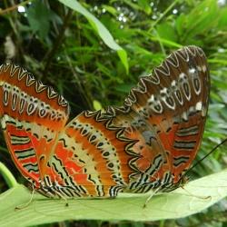 Subfamily Heliconiinae <br>&nbsp;&nbsp;&nbsp; Genus Cethosia ( The Lacewings )