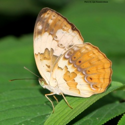 Subfamily Heliconiinae <br>&nbsp;&nbsp;&nbsp; Genus Cupha ( The Rustic )