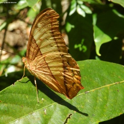 Subfamily Heliconiinae <br>&nbsp;&nbsp;&nbsp; Genus Vindula ( The Cruiser )