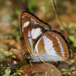 Subfamily Limenitidinae <br>&nbsp;&nbsp;&nbsp; Genus Athyma ( The Sergeants )