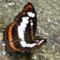 Colour Sergeant -- Athyma nefte Cramer, 1780 ( Male )