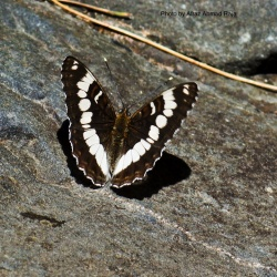 Subfamily Limenitidinae <br>&nbsp;&nbsp;&nbsp; Genus Limenitis ( The Admirals )