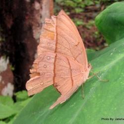 Subfamily Morphinae <br>&nbsp;&nbsp;&nbsp; Genus Aemona ( The Dryads )