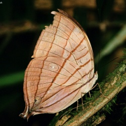Subfamily Morphinae <br>&nbsp;&nbsp;&nbsp; Genus Amathuxidia ( The Kohinoor )