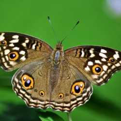Subfamily Nymphalinae <br>&nbsp;&nbsp;&nbsp; Genus Junonia ( The Pansies )