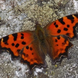 Subfamily Nymphalinae <br>&nbsp;&nbsp;&nbsp; Genus Polygonia ( The Comma )