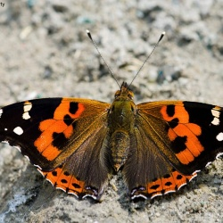 Subfamily Nymphalinae <br>&nbsp;&nbsp;&nbsp; Genus Vanessa ( The Red Admiral & Painted Lady )