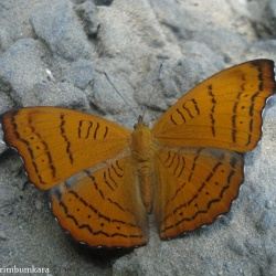 Subfamily Pseudergolinae <br>&nbsp;&nbsp;&nbsp; Genus Pseudergolis ( The Tabby )