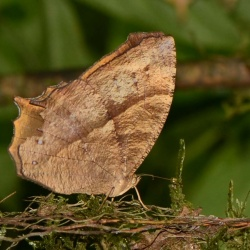 Subfamily Satyrinae <br>&nbsp;&nbsp;&nbsp; Genus Cyllogenes, Melanitis, Parantirrhoea ( The Evening Browns )