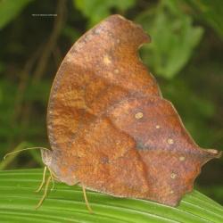 Great Evening Brown - Melanitis zitenius zitenius