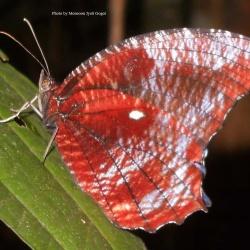 Peal's Palmfly- Elymnias pealii