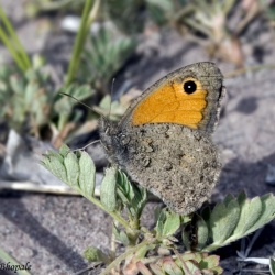 Subfamily Satyrinae <br>&nbsp;&nbsp;&nbsp; Genus Hyponephele  ( The Meadowbrowns )