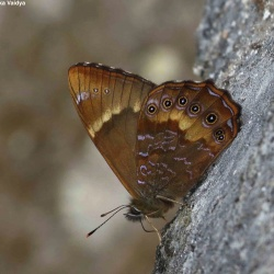 Subfamily Satyrinae <br>&nbsp;&nbsp;&nbsp; Genus Lethe ( The Treebrowns, Forester, Woodbrown, Forks, Labyrinth, Mystic )