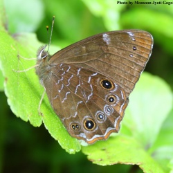 Common Woodbrown -- Lethe sidonis sidonis Hewitson, 1863