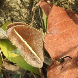 Subfamily Satyrinae <br>&nbsp;&nbsp;&nbsp; Genus Mycalesis, Heteropsis ( The Bushbrowns )