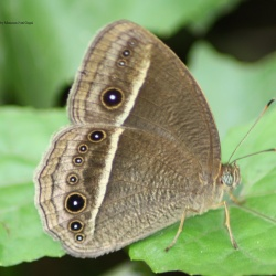 Bright-eye Bushbrown - Mycalesis nicotia